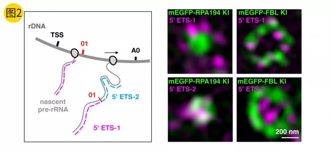 《中科院生化细胞所陈玲玲团队首次提出相分离促进新生成rRNA前体定向转运的模型》