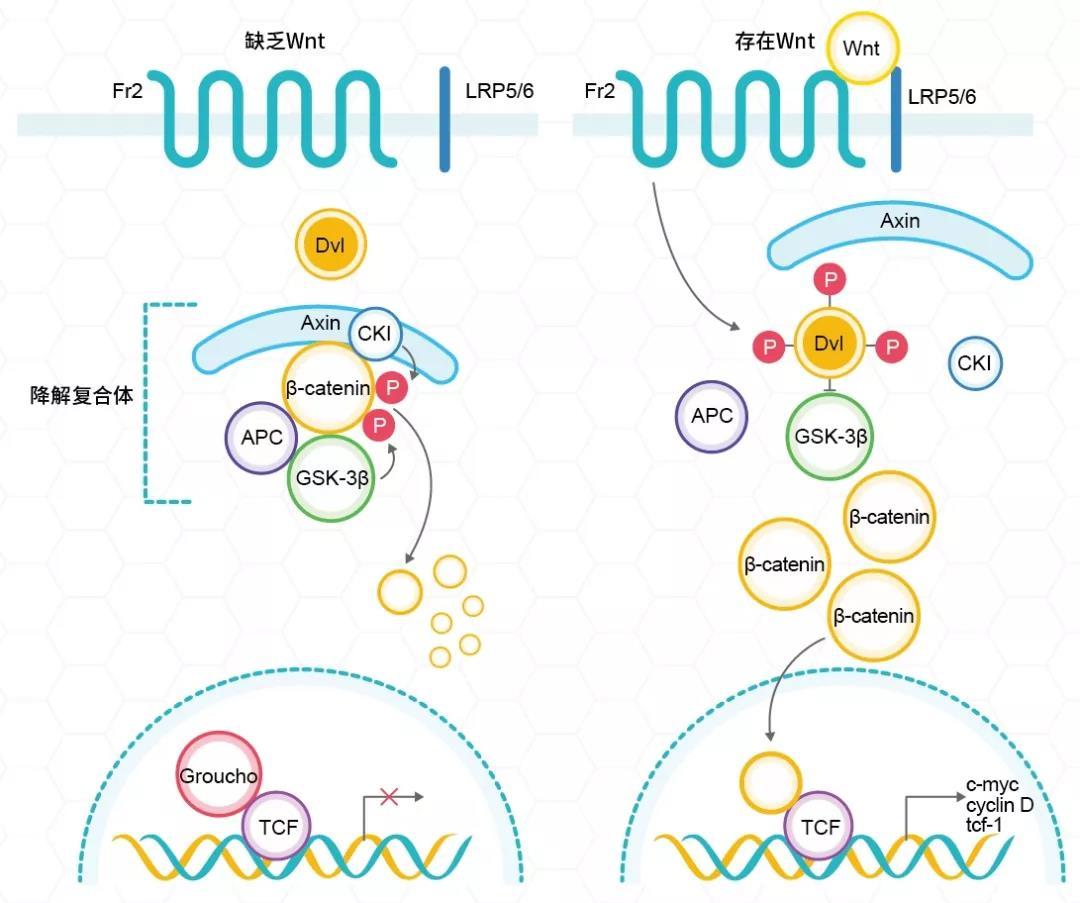 《一篇文章带你读懂什么是Wnt/β-Catenin信号通路》