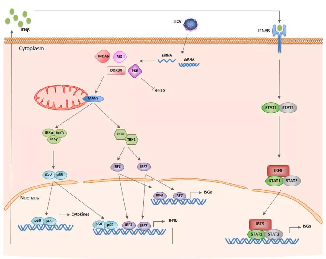 《先天免疫系列推文二:炎症应答中的关键转录因子(NF-κB,IRFs,STATs)》