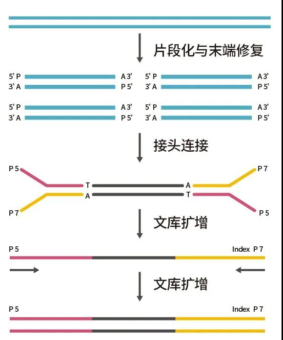 《产品推新:ABclonal 片段化酶建库试剂盒 FS DNA Lib Prep Kit for Illumina》