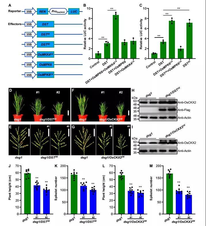 《林鸿宣院士研究组揭示MAPK级联信号通过细胞分裂素代谢调控水稻穗型发育的分子机理》