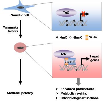 《复旦大学生物医学研究院分子细胞生物学团队(复旦MCB) 揭示Tet2-Zscan4f复合物促进体细胞重编程新机制》