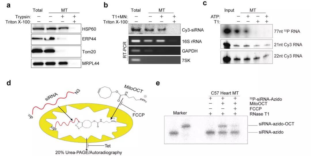 《Cell Res   张晓荣组阐述RNA干扰在线粒体中的应用》