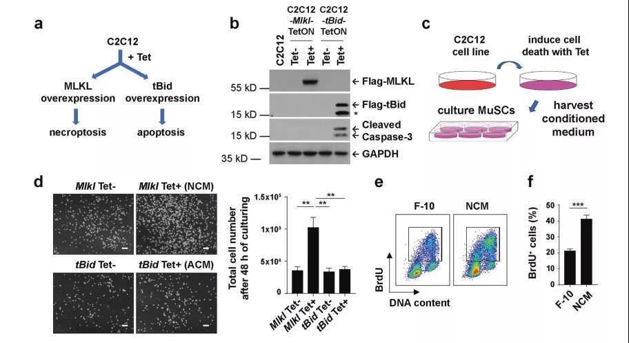 《Cell Res | 科学家诠释程序性细胞坏死的全新功能:创造组织修复的微环境》