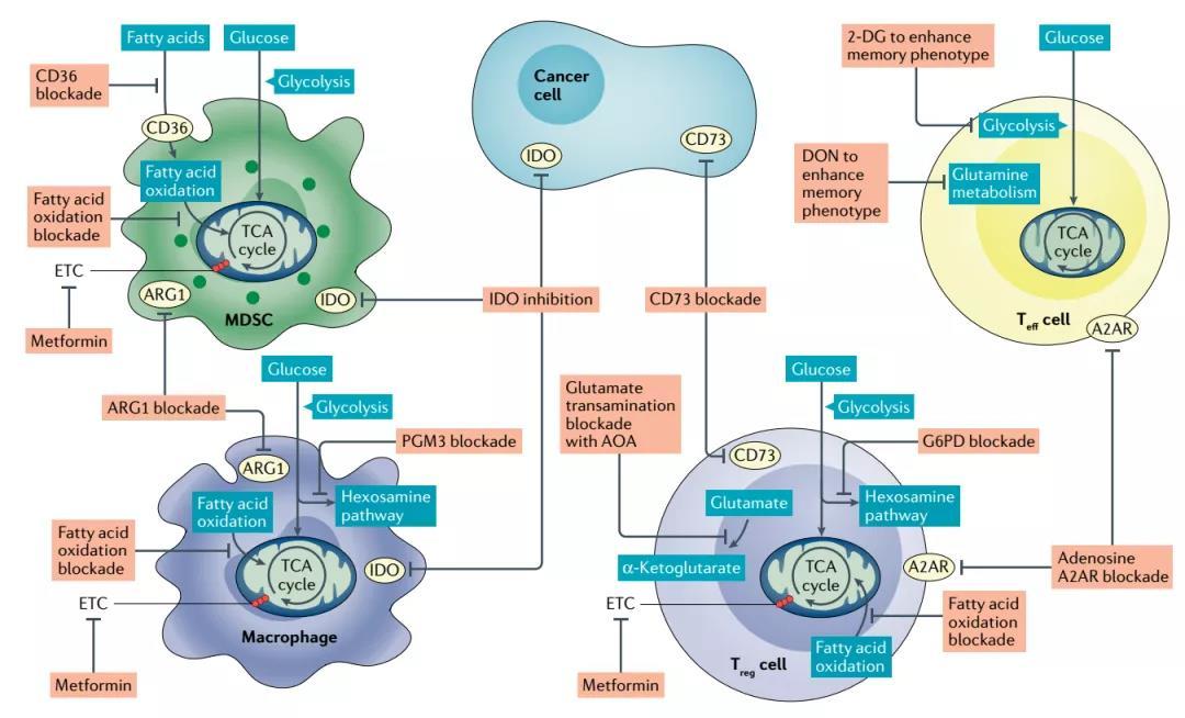 《Nature重磅综述:一文厘清肿瘤中的免疫细胞代谢(值得收藏)》
