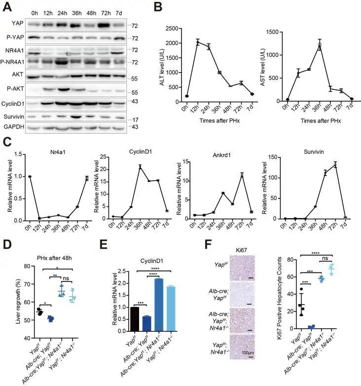 《Cell Reports | 张雷组揭示Hippo信号通路维持细胞增殖和凋亡平衡以控制器官大小的全新机制》